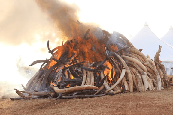 Fifteen tonnes of ivory were destroyed in Kenya's Nairobi National Park in March, 2015. (Image Credit: Peter Chira)