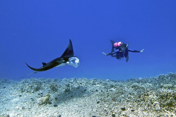 Manta ray with scuba diver. (Image Credit: Steve Dunleavy)
