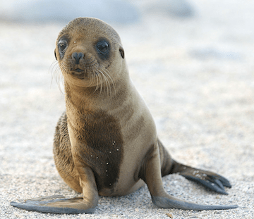 Sea lion pup. (Image Credit: Dag Peak / Flickr)