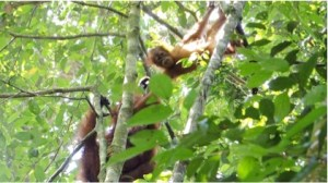 Orangutans in the canopy. (Photo: Heather Rally)