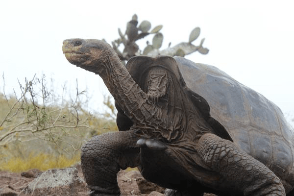 An adult Galapagos tortoise. (Photo Credit: James Gibbs)