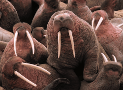 Young male Pacific walruses on Cape Pierce in Alaska. (Photo Credit: US Fish and Wildlife Service)