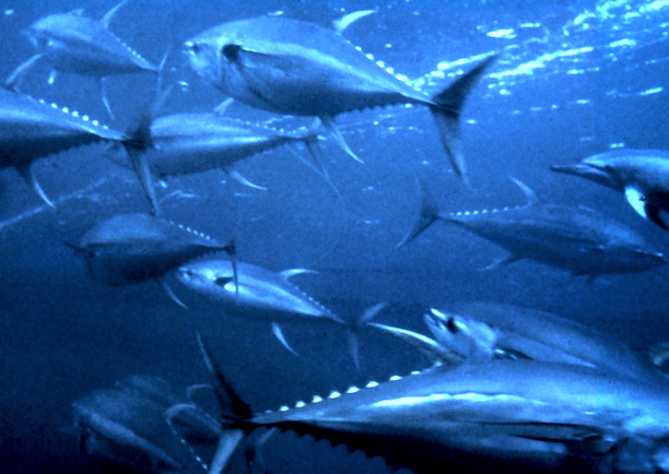 Schooling yellowfin tuna. (Photo Credit: OAR / National Undersea Research Program)
