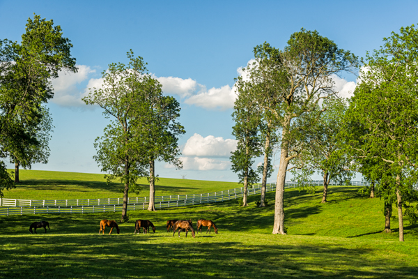 Ancient trees in Bluegrass woodland pastures. (Photo: Dr. Kimmerer)