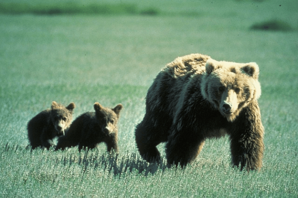 Grizzly bear with her cubs. (Photo Credit: Pixabay)