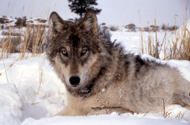Gray wolf. (Photo Credit: National Park Service / Flickr)