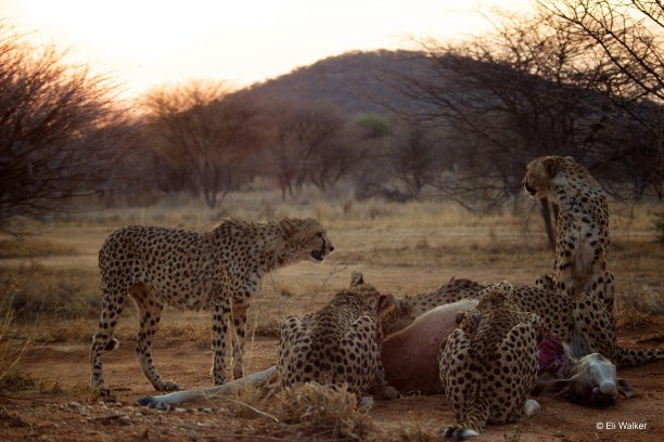 Female cheetahs with an eland carcass. (Photo Credit: Eli Walker, courtesy of CCF)