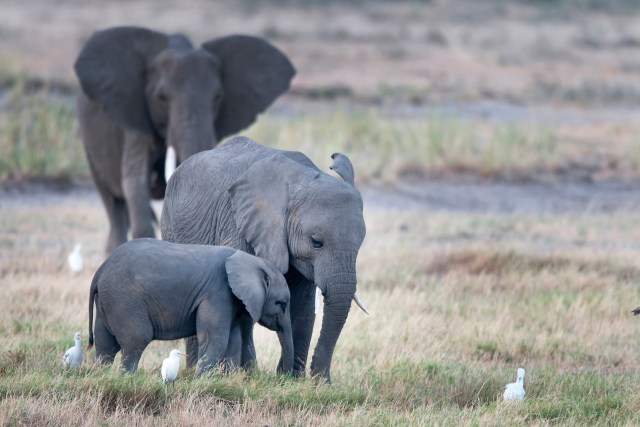 Poachers target elephants for their ivory tusks, which are shipped to markets in Asia and fashioned into jewelry, statues and fine art. (Photo credit: Billy Dodson / African Wildlife Foundation)