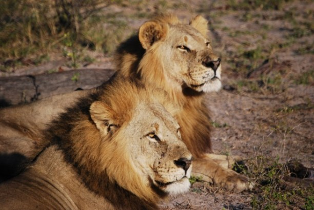 Africa's lion population has declined by 43 percent over the past 21 years. (Photo Credit: Stephen Ham / African Wildlife Foundation)