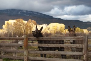 Burros enjoy the view at Rock Bottom Ranch. (Photo Credit: Aspen Center for Environmental Studies)