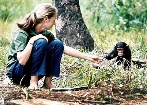 Dr. Jane Goodall with chimp. (Photo via Jane Goodall Institute)