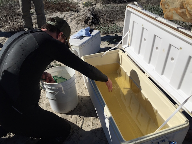 Large ice chests with air pumps were used to safely transfer recovered gobies to aquarium holding facilities. (Photo Credit: Akino Higa)