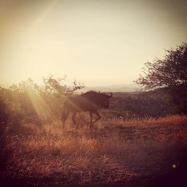 Wildebeest. (Photo courtesy of GCF)