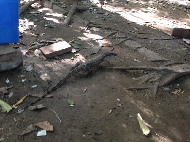 A monitor lizard scurrying over the forest floor. (© Jed Wolf)