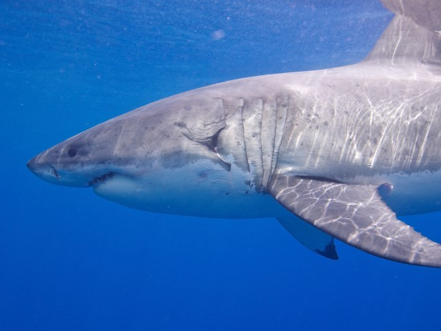 Great White Shark. (Photo Credit: Elias Levy / Flickr)