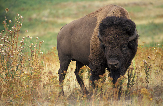 Bison. (Photo Credit: Jack Dykinga / Agricultural Research Service / U.S. DoA)
