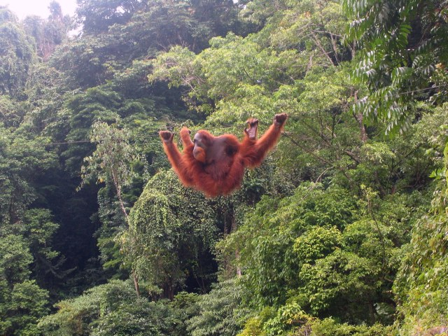 Once found across southeast Asia, orangutans now live only on the islands of Sumatra and Borneo. (Photo Credit: Tbachner via WikiMedia Commons)