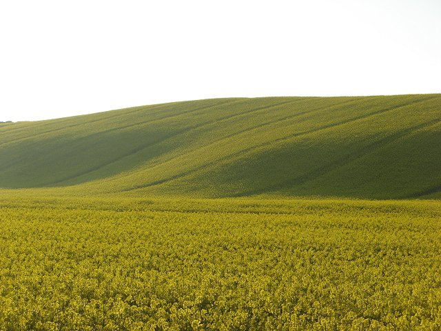 Big subsidies for oil seed rape has led to many acres being planted. Selby's Hill, Northumberland, Great Britain. (Photo Credit: Richard Webb)