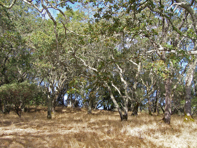 California oak woodland on the east flank of Sonoma Mountain, Sonoma County, CA. (Photo via WikiMedia Commons)