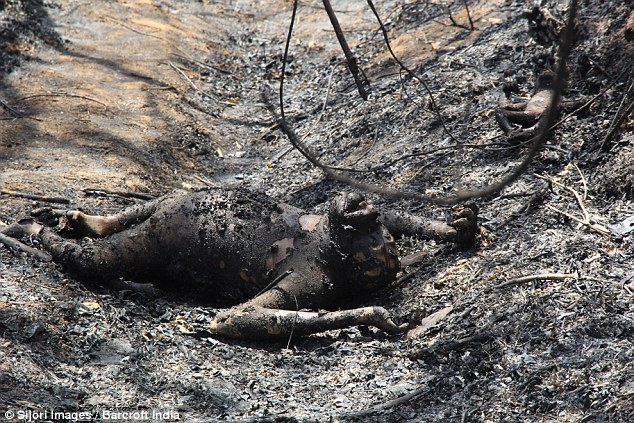 Charred bodies of orangutans were found in a protected forest in Bontang earlier this year. (Photo via DailyMail)