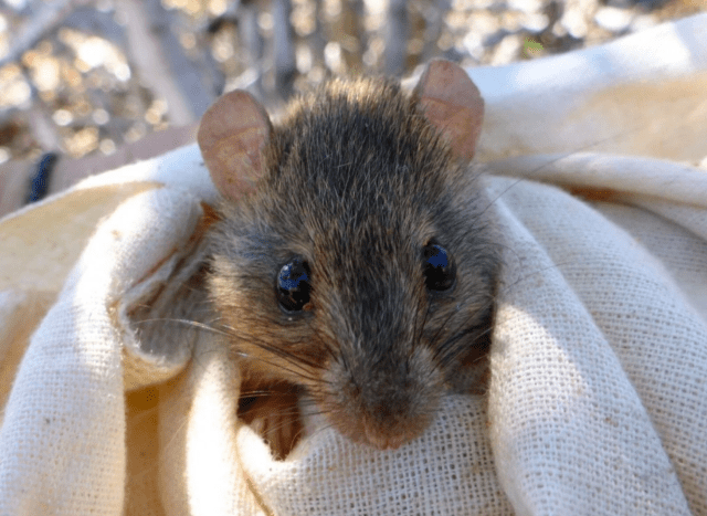 Bramble Cay melomys. Believed to be the first mammal to go extinct due to climate change. (Photo courtesy of Luke Leung, University of Queensland)