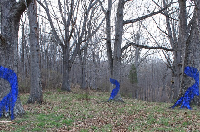 Blued Trees on Brush Mountain in Blacksburg, Virginia. Blued Trees are painted with a casein paint slurry of buttermilk and ultramarine blue pigment designed to grow mosses. (Photo Credit: Robin Boucher)