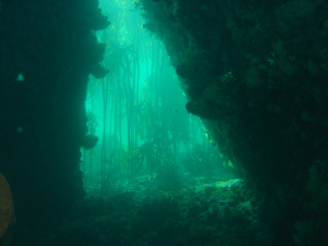 Kelp forest, Simon's Town, Cape Peninsula, South Africa. (Photo via WikiMedia Commons)