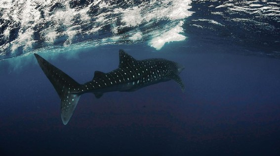 Swimming with a whale shark. Photo credit: Jeremy Mckane.