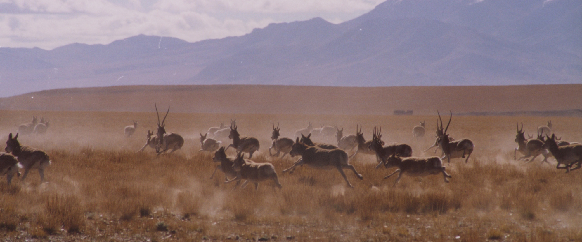 Tibetan antelopes in the Changtang region of northern Tibet. Photo by Matteo Pistono.