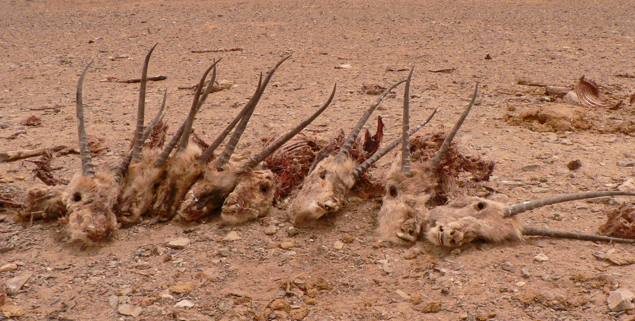 Tibetan antelopes slaughtered by poachers in the Changtang region