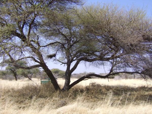 A cheetah playtree in Namibia. (Photo: Cheetah Conservation Fund)