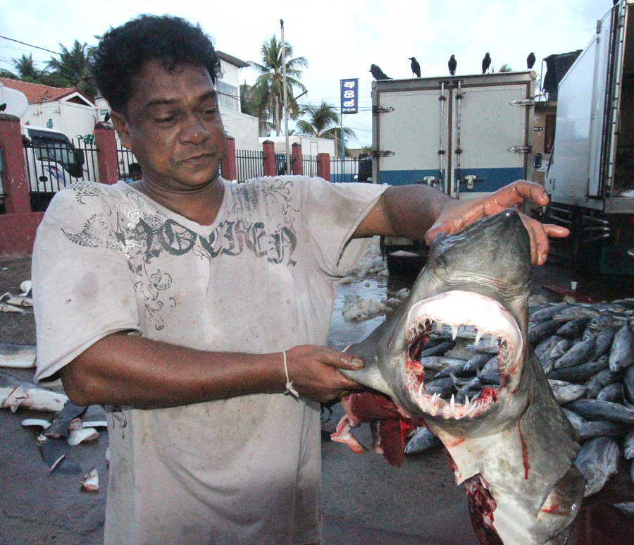 Juvenile shark caught in the by-catch, on sale at Negombo fishmarket.