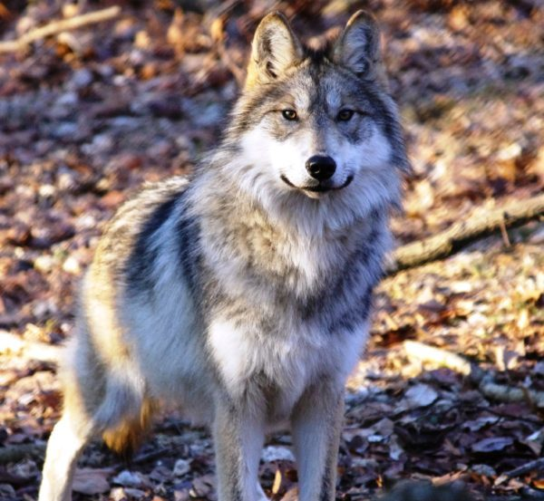 Rogue, a female Mexican wolf, which is a subspecies of gray wolf. Mexican wolves are critically endangered and can only be found in the wild in Arizona, New Mexico and Mexico. (Photo: CCF)