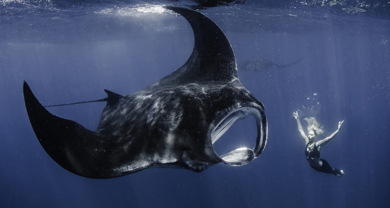 A giant Oceanic Manta interacts with Hannah Mermaid. Photo by Shawn Heinrichs. This photos was not shot in the Maldives, but Oceanic Mantas do pass through. The Reef Mantas are resident in the Maldives.