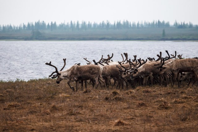 Reindeer on the Yamal Peninsula. (Photo Credit: Alexsandr Popov / Flickr)