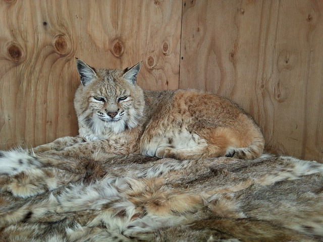 Cleo the bobcat relaxes on fur collected by and donated from Born Free USA, at the The Fund for Animals Wildlife Center in California. (Photo: The Fund for Animals Wildlife Center)