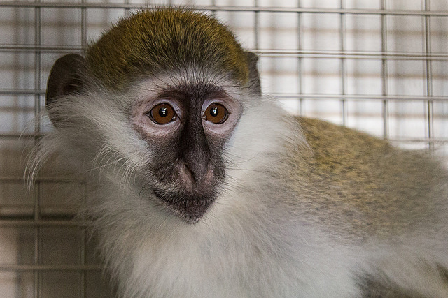 Mikey, a 2 year old vervet formerly kept as a pet begins his new life at the Born Free USA Primate Sanctuary in south Texas. After he is cleared by veterinary staff he will be introduced to the other vervets. (Photo: Born Free USA / Flickr)