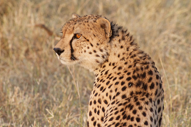 A Cheetah on the Serengeti plain. (Photo: Richard Toller / Flickr)