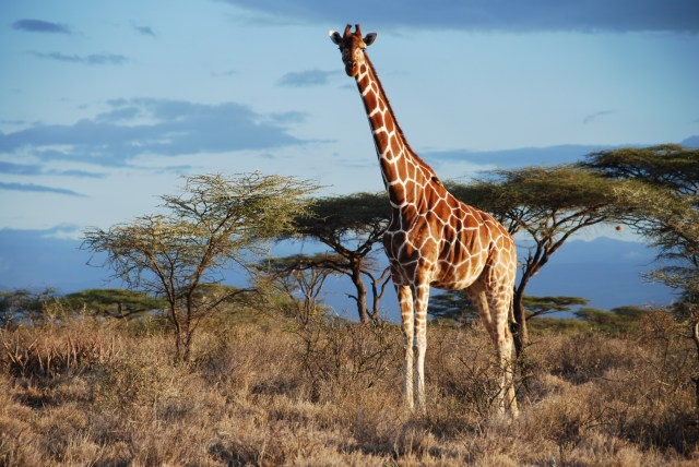 Reticulated giraffe in Samburu NP, Kenya. (Photo: GCF)