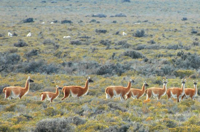 Guanacos in Península Valdés. (Photo: Ricardo Baldi)