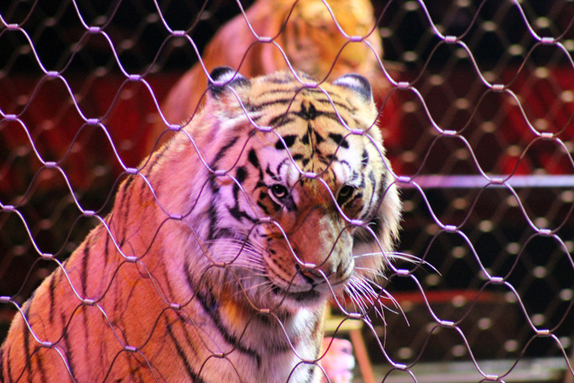 Does this circus tiger look happy? (Photo: greyloch / Flickr)
