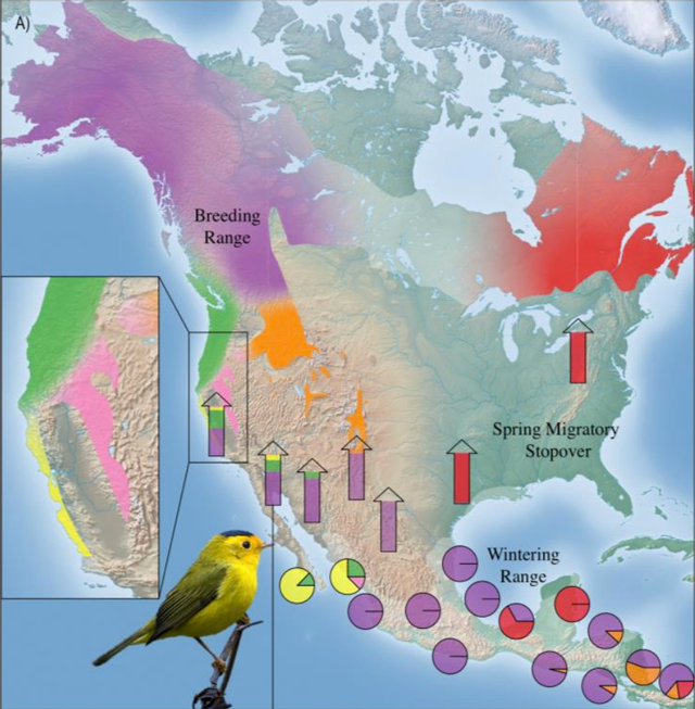 Population specific migratory flyways for Wilson's warbler. Modified from Figure 1, Ruegg et al 2014.