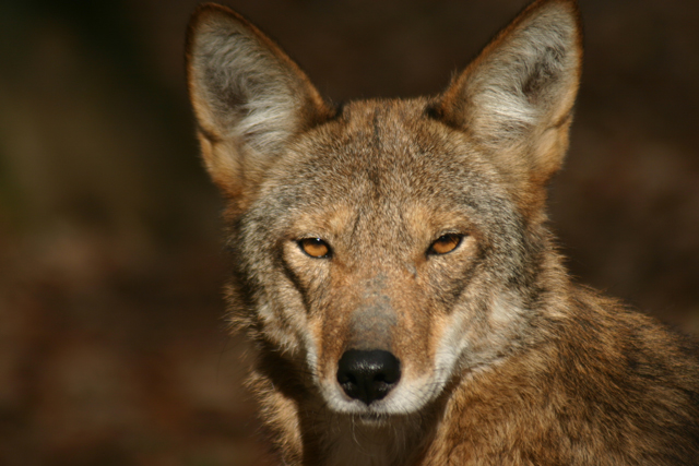 A red wolf. (Photo: Land Between the Lakes KY/TN / Flickr)