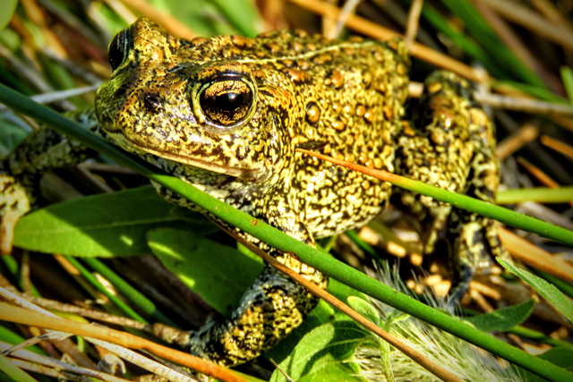 The newly discovered Dixie Valley Toad is already at risk of extinction due to the construction of a geothermal facility that may drain its wetland habitat. (Photo: Patrick Donnelly / Center for Biological Diversity)