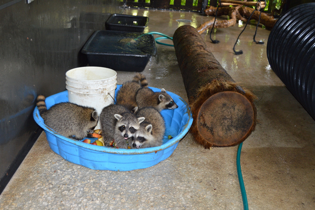 Orphaned raccoons dine on fruits as part of their rehabilitation at the South Florida Wildlife Center. They will eventually be released into the wild. (Photo: Deborah Robbins Millman / Humane Society of the United States)
