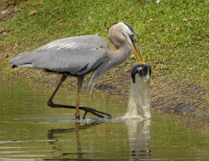 Great Blue Heron at Earl Brown Park in DeLand, Florida. A fish swam into a water filled plastic bag in the pond and became its pre-packaged meal. (Photo Credit: Andrea Westmoreland / Flickr)