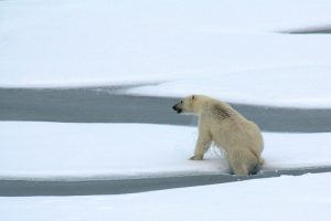 A polar bear breaks through thin Arctic Ocean ice, August 23, 2009. (Photo Credit: Patrick Kelley / U.S. Coast Guard)