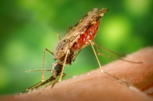 Mosquito feeding on human arm (Source: WikiMedia Commons)