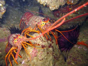 CA Spiny Lobster