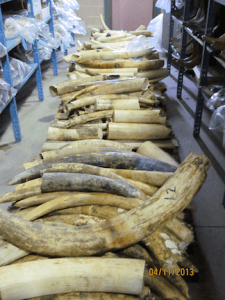 Raw ivory. (Image: U.S. Fish and Wildlife Service)